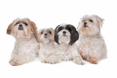 Four maltese, shih tzu dogs. In front of a white background Royalty Free Stock Images