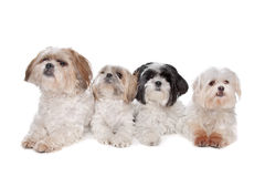 Four maltese, shih tzu dogs. In front of a white background Stock Image