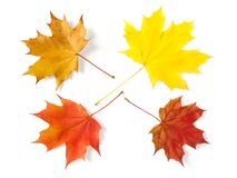 Four maple leaves Stock Photos