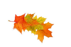 Four maple leaves Royalty Free Stock Photo