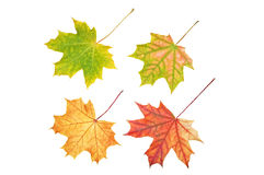 Four maple leaves. Isolated on white background Stock Image