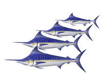 Four Marlin Royalty Free Stock Image