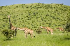 Four Masai Giraffe in the green grass at the Lewa Wildlife Conservancy, North Kenya, Africa Royalty Free Stock Photo
