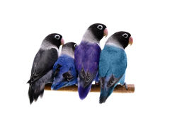 Four masked lovebirds on white Royalty Free Stock Photos