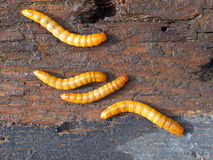 Four mealworms. On wooden background detail Royalty Free Stock Photography