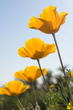 Four Mexican Poppies stock photos