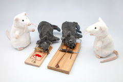 Four mice. And two mousetraps Stock Photos