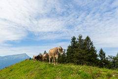 Four milk cows in meadow Switzerland with mount Rigi and trees Royalty Free Stock Images