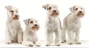 Four miniature schnauzer puppies Royalty Free Stock Photos