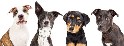 Four Mixed Breed Dogs Closeup royalty free stock photography