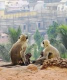 Four Monkeys Sitting on Soil Watching Houses and Palm Trees Stock Photos