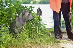 Four month old italian mastiff cane corso and fish Royalty Free Stock Images