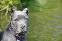Four month old italian mastiff cane corso on lake Royalty Free Stock Image