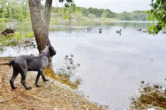 Four month old italian mastiff first time look at ducks Stock Photography