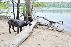 Four month old italian mastiff gnaws a tree branch Stock Image
