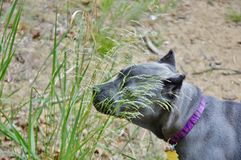 Four month old italian mastiff sniffing the grass Royalty Free Stock Photography