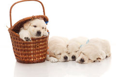 Four little puppies of golden retriever Royalty Free Stock Image