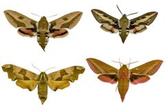 Free Four Moths Stock Photography - 4632792