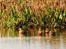 Four Mottled Ducks Stock Image