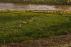 Four Mule Deer Bucks In Velvet Running In Green Field. Four Mule Deer Bucks In Velvet Running In Green Alfalfa Field At Sunset royalty free stock photography