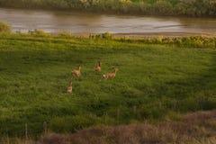 Four Mule Deer Bucks In Velvet Running In Green Field. At Sunset stock photo