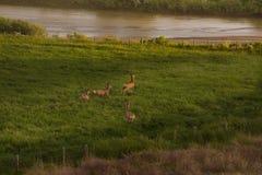 Four Mule Deer Bucks In Velvet Running In Green Field stock images