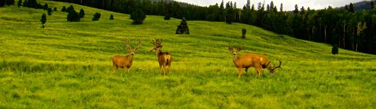 Four Mule Deer Bucks royalty free stock photography