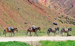 Four mules. In the Andes transporting a load Royalty Free Stock Image