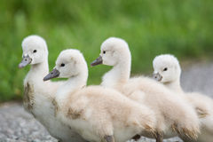 Four Mute Swan cygnets walkin on a path. Stock Photo