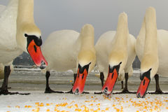 Four mute swans are feeding Stock Image