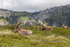 Four natural alpine ibex capricorns sitting in meadow. Four natural alpine ibex capricorns sitting in natural environment stock photography