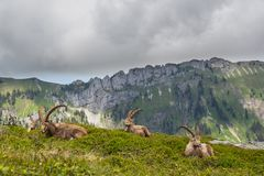 Four natural alpine ibex capricorns sitting in meadow in mountains. Four natural alpine ibex capricorns sitting in green meadow in mountains stock photography
