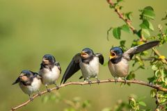 Four nestling barn swallows Hirundo rustica waiting for their parents. Four nestling barn swallows Hirundo rustica waiting for their parents sitting on a branch royalty free stock image