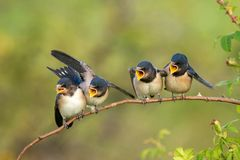 Four nestling barn swallows Hirundo rustica waiting for their parents. Four nestling barn swallows Hirundo rustica waiting for their parents sitting on a branch stock image