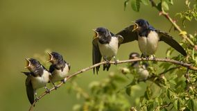 Four nestling barn swallows waiting for their parents sitting on a branch. Stock Photos