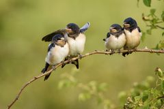 Four nestling barn swallows waiting for their parents sitting on a branch. Stock Images