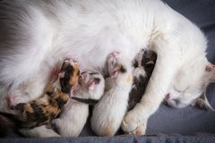 Four newborn kittens suck milk from his mother stock image