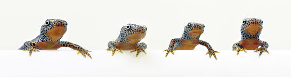 Four newts sitting looking isolated on white Stock Photography