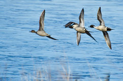 Northern Pintails Flying Over Blue Water Royalty Free Stock Photos