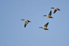 Four Northern Shovelers Flying in a Blue Sky Royalty Free Stock Photography