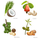 Four nuts with plant and peeled kernel. There are coconut, cashew, macadamia and almonds nuts Royalty Free Stock Photos