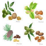 Four nuts with plant and peeled kernel. There are walnut, hazelnut, pine nuts and pecan nuts Stock Images