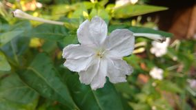 Four O`clock flower, Marvel of peru, Mirabilis Jalapa. Stock Photo