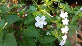 Four O`clock flower, Marvel of peru, Mirabilis Jalapa. Royalty Free Stock Images