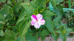 Four O`clock flower,mirabilis jalapa or marvel of peru Stock Photos