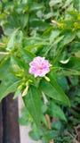 Four O`clock flower,mirabilis jalapa or marvel of peru Royalty Free Stock Photos