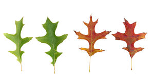 Four oak leaves on white background. Isolated oak leaves, two Fall leaves and two green ones, on white background for easy removal Royalty Free Stock Photography
