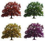 Four oak trees isolated. Four oak trees in seasons colors isolated over white Royalty Free Stock Image
