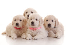 Four one month old puppies of golden retriever Royalty Free Stock Photo