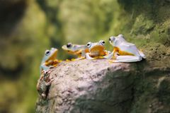 Four orange belly tree frogs and a single brown frog royalty free stock photo